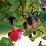Fruits de fuschsia rampant